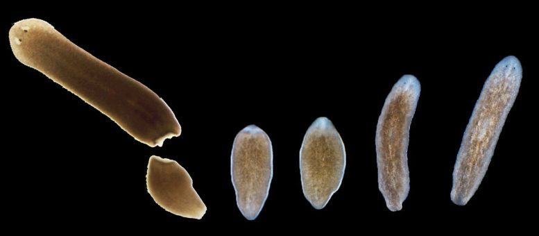 Planarian Flatworm Provides Treasure Trove on the Function and Evolution of Genes