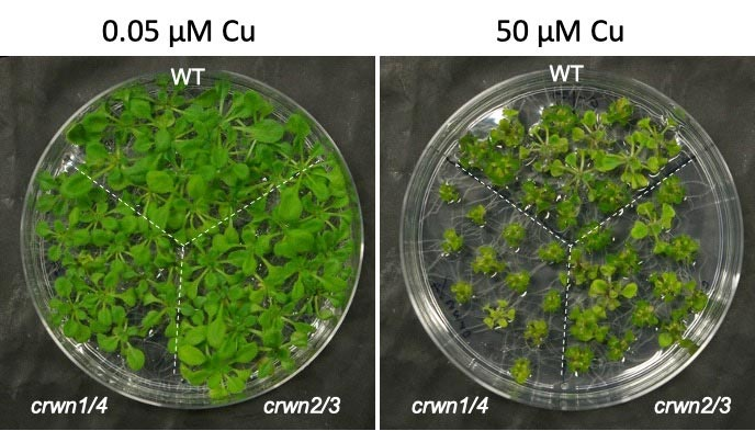 Plants Crowded Nuclei Proteins
