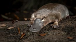 Platypus Has Ten Sex Chromosomes