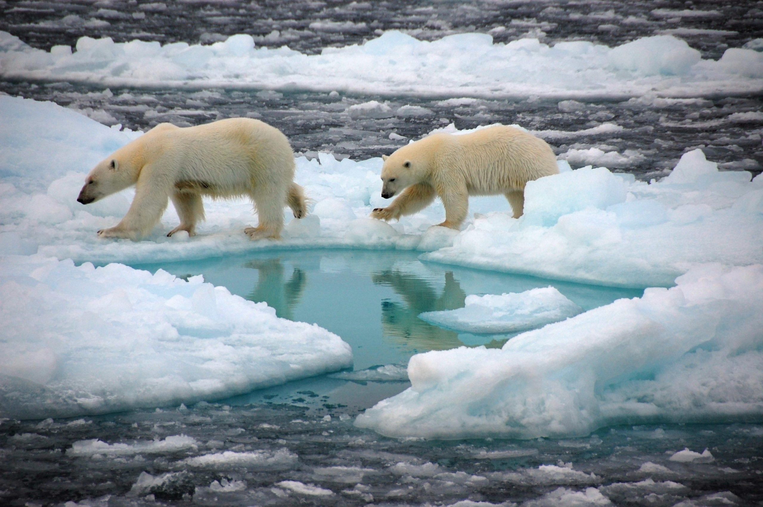 North pole soon to be ice free in summer, Researchers Say