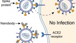 Preventing SARS-CoV-2 Infections With Nanobodies