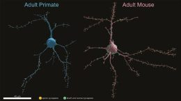 Primate and Mouse Neurons