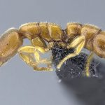 Tiny Dracula Ants: New Species of Subterranean Hunters