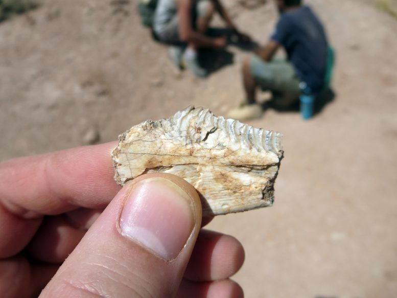 Priosphenodon Teeth