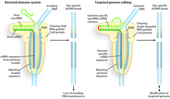 Programmable DNA scissors