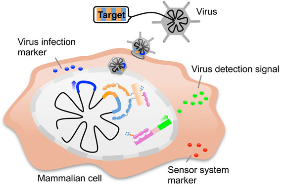 Protein-Based Sensor Detects Viral Infection and Kills Cancer Cells