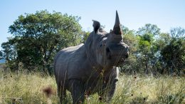 Radioactive Isotopes Injected in Rhino's Horn