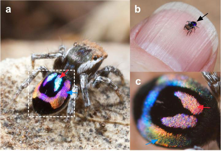 Rainbow Peacock Spiders Inspire Miniature Super-Iridescent Optics