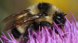 Rare Cockerell's Bumblebee Found In New Mexico