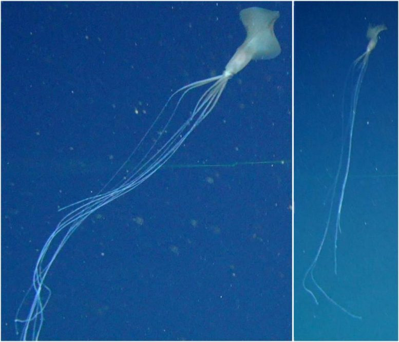 Rare Deep Sea Bigfin Squid