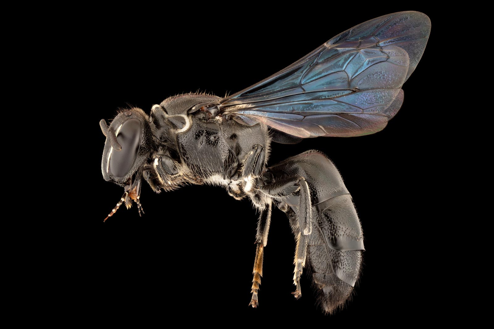 Rare Australian Native Bee Found After 100 Years