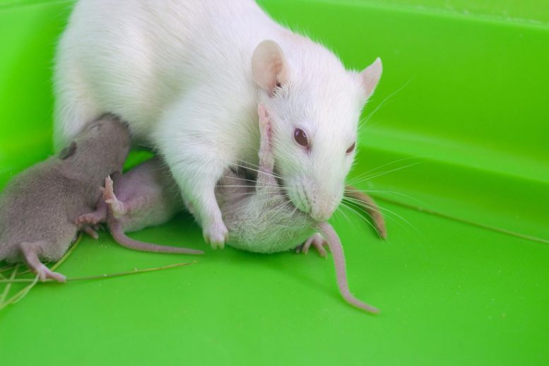 Rat Mouse Mother