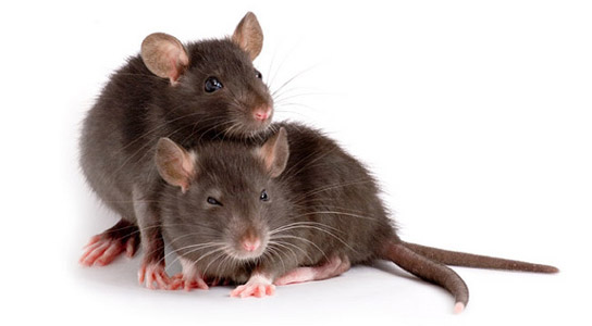 Rats will help other rats