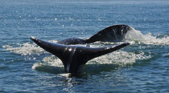 Record Numbers of Gray Whales Spotted Off California Coast