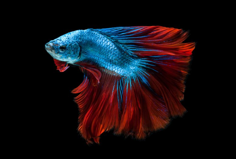 Red Blue Siamese Fighting Fish