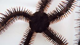 Red Brittle Star, Ophiocoma wendtii