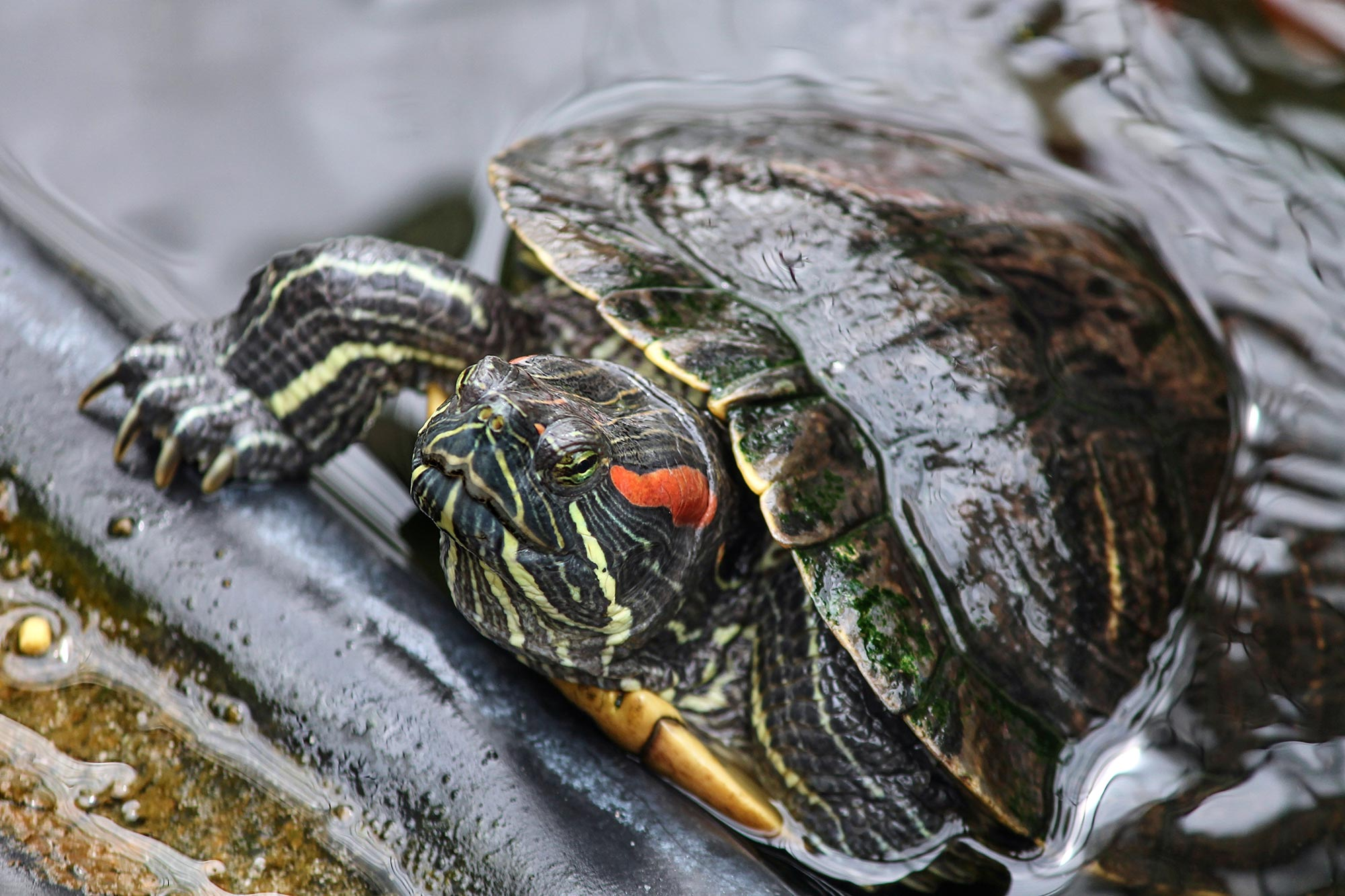 Red-Eared Slider Invaders Are Hurting California's Native Turtles