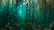 Remote South American Kelp Forests