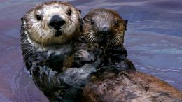 Rescued Southern Sea Otter Pup 327 with Surrogate Mother