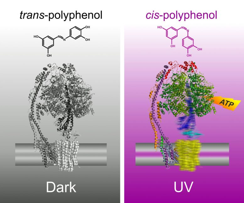 Researchers Control ATP in Cells Using UV Light