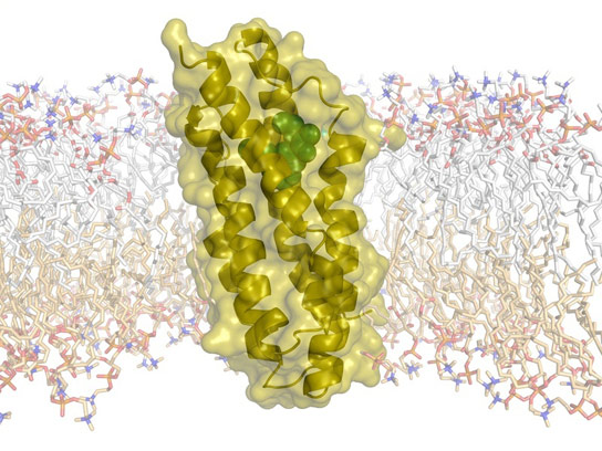 Researchers Decode Cholesterol Transporter Structure