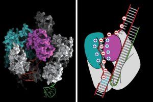 Researchers Develop a Highly Specific Genome-Editing Tool