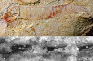 Researchers Discover 520 Million-Year-Old Fossilized Nervous System
