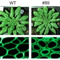 Researchers Engineer Plant Cell Walls to Boost Sugar Yields for Biofuels