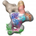 Researchers Map 3D Structure of Telomerase Enzyme