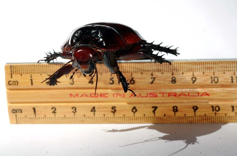 Researchers Trace Cockroach History Back to Last Supercontinent