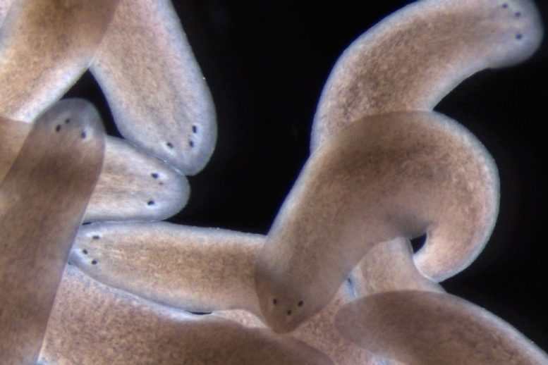 Researchers Uncover a Blueprint for Regeneration