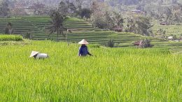 Rice Farmers Lush Green Fields
