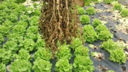 Root Galling Caused by Root-Knot Nematode Infestation