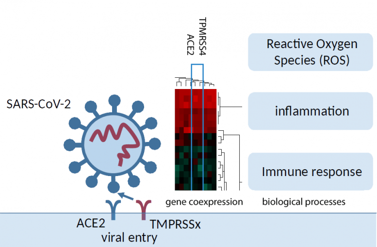 SARS-CoV-2 Docks Receptor-ACE2 Lung Cells