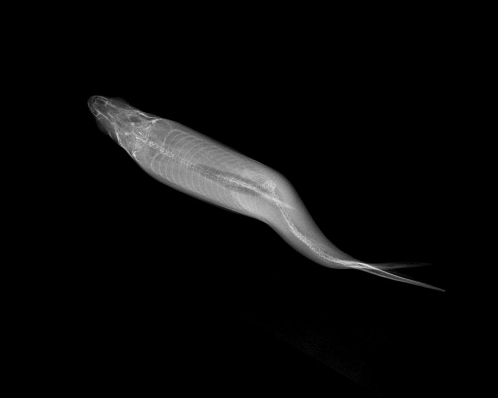 How Ear Bones of a Fish Unraveled the Mystery of Spinal Deformities - SciTechDaily