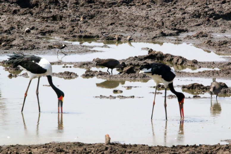 Saddle Billed Storks in Africa