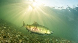 Salmon Lower Fraser River in British Columbia