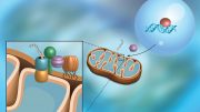 Scientists Discover Pathway That Protects Mitochondria