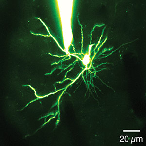 Neuroscientists Discover that Dendritic Spikes Enhance the Brain's Computing Power