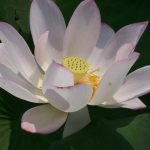 Scientists Sequence Genome of Sacred Lotus