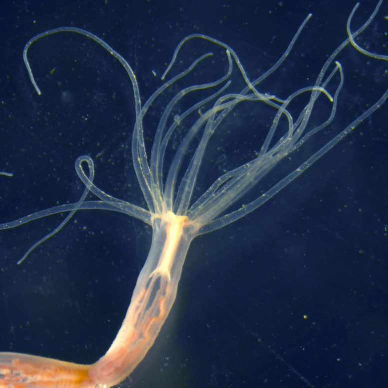 Sea Anemones Adapt Their Venom to Accommodate Changing Conditions