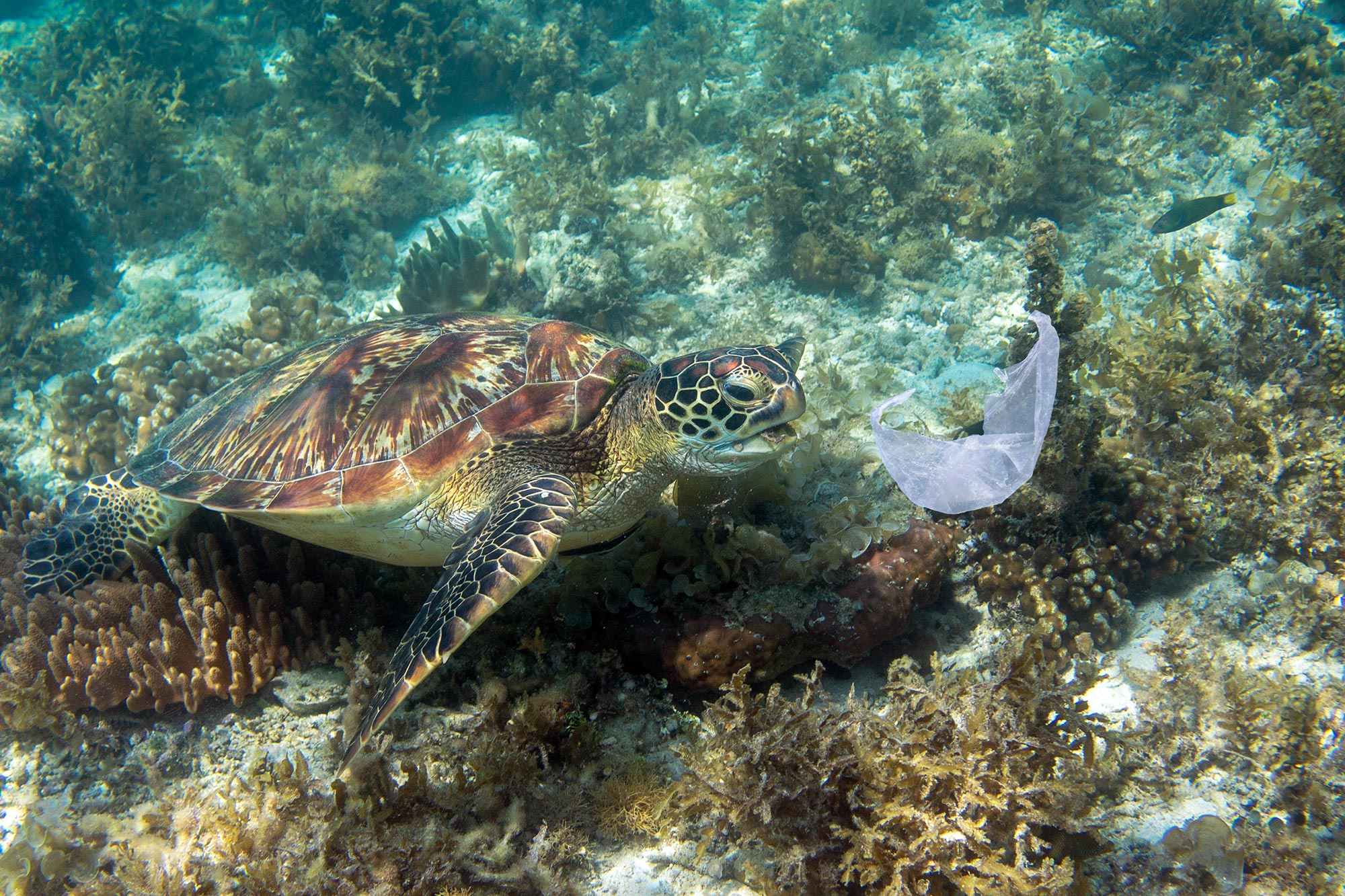 Sea turtles eat plastic because it smells like food, study shows