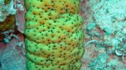 Sea cucumbers counter the negative effects of ocean acidification