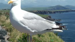 Seabird in Ireland