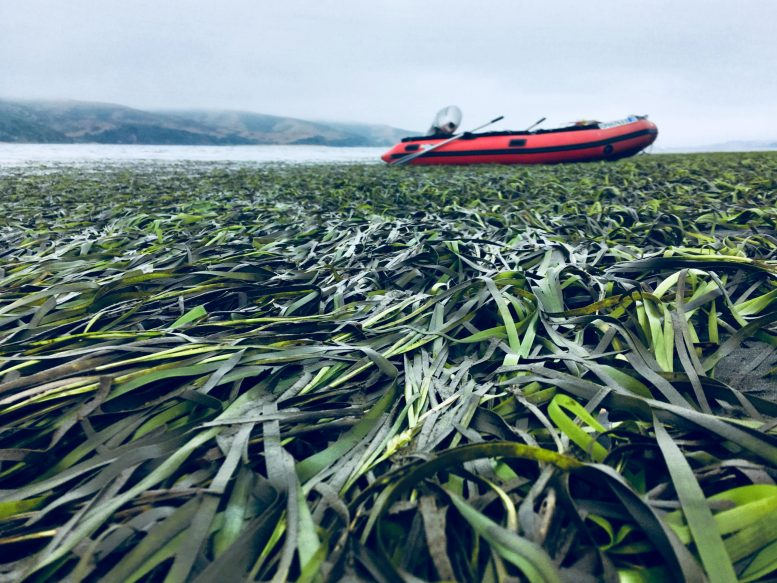 Seagrass Tomales Bay Northern California