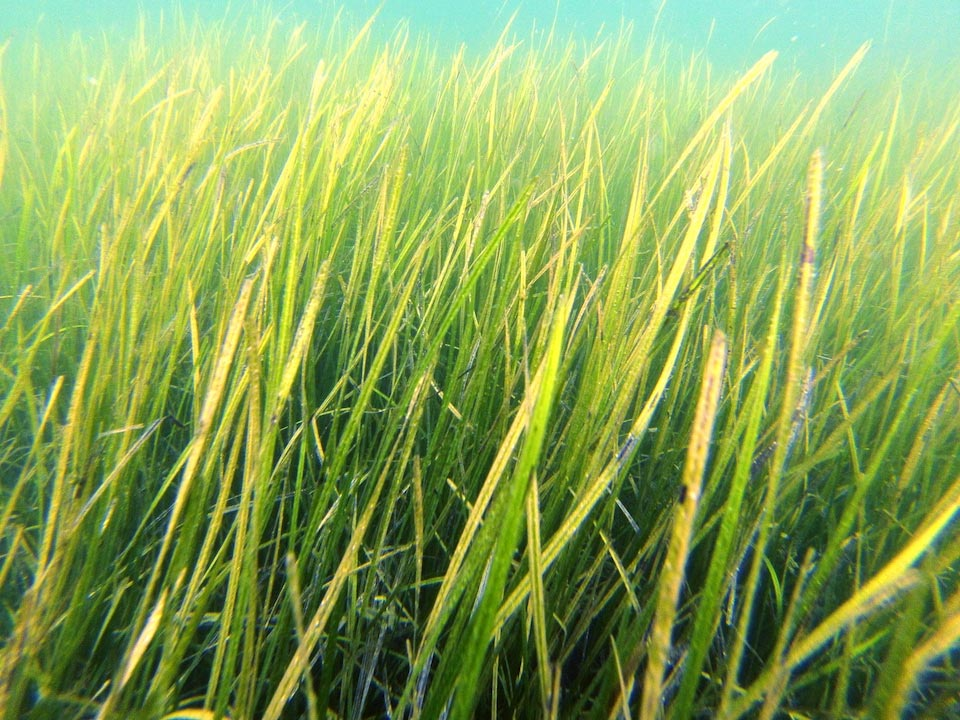 Seagrass Meadows Turn Back the Clock on Ocean Acidification – Can Reduce Local Acidity by Up to 30%