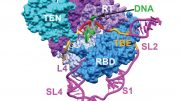 See The Inner Workings Enzyme Telomerase
