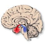 Seizures Knock Out Brain Arousal Centers