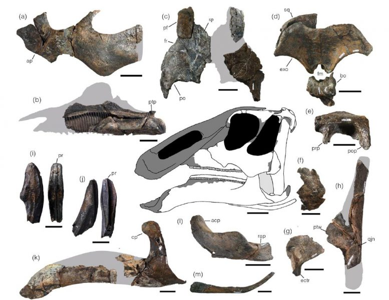 Selected Skull Elements of Kamuysaurus Japonicus