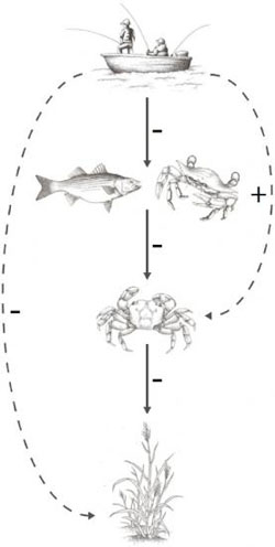 Sesarma crab population to soar, resulting in greater predation of marsh grasses